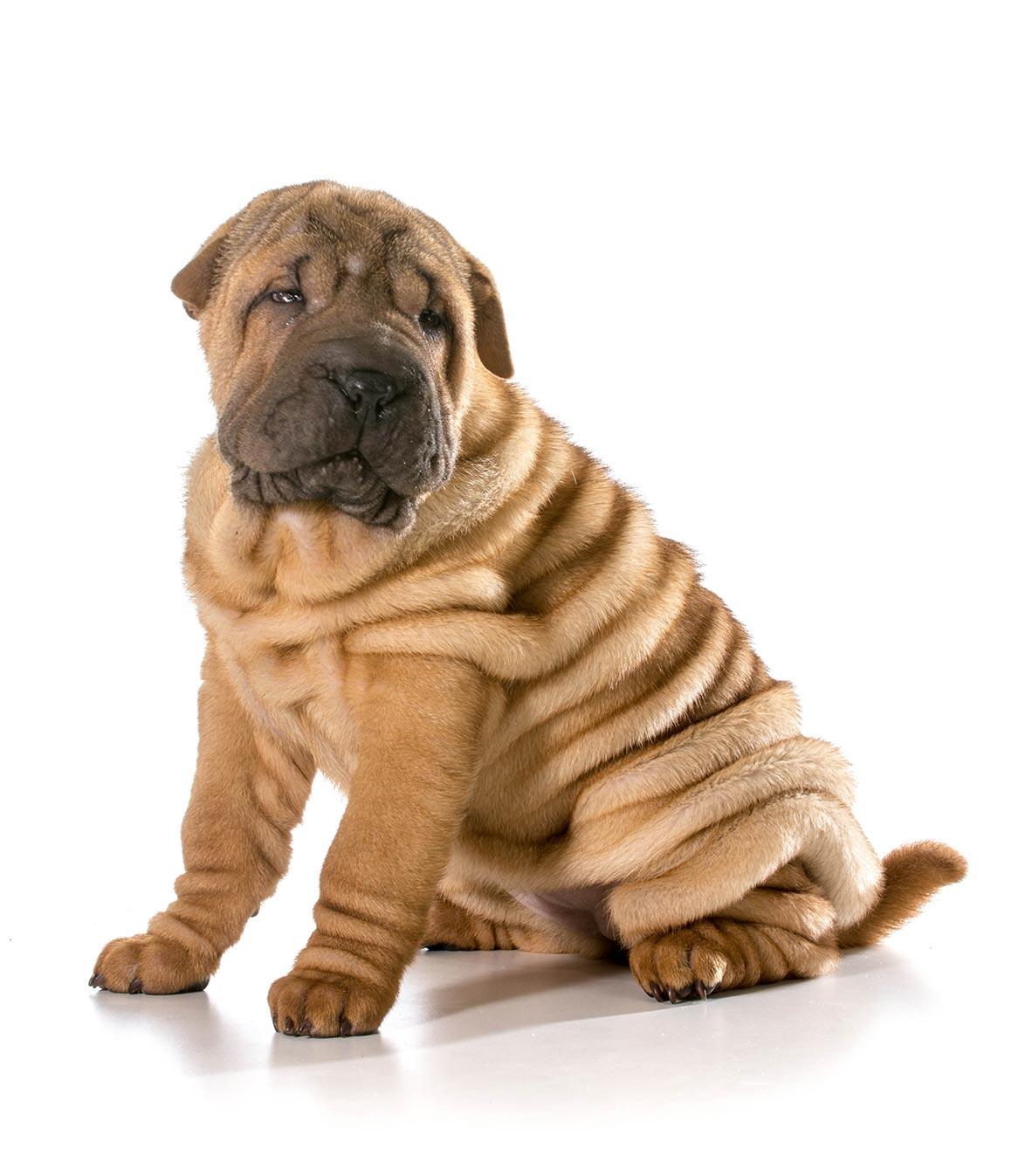 Shar-pei puppy, Cooley Dickinson Medical Group Plastic Surgery, Northampton, MA 01060.