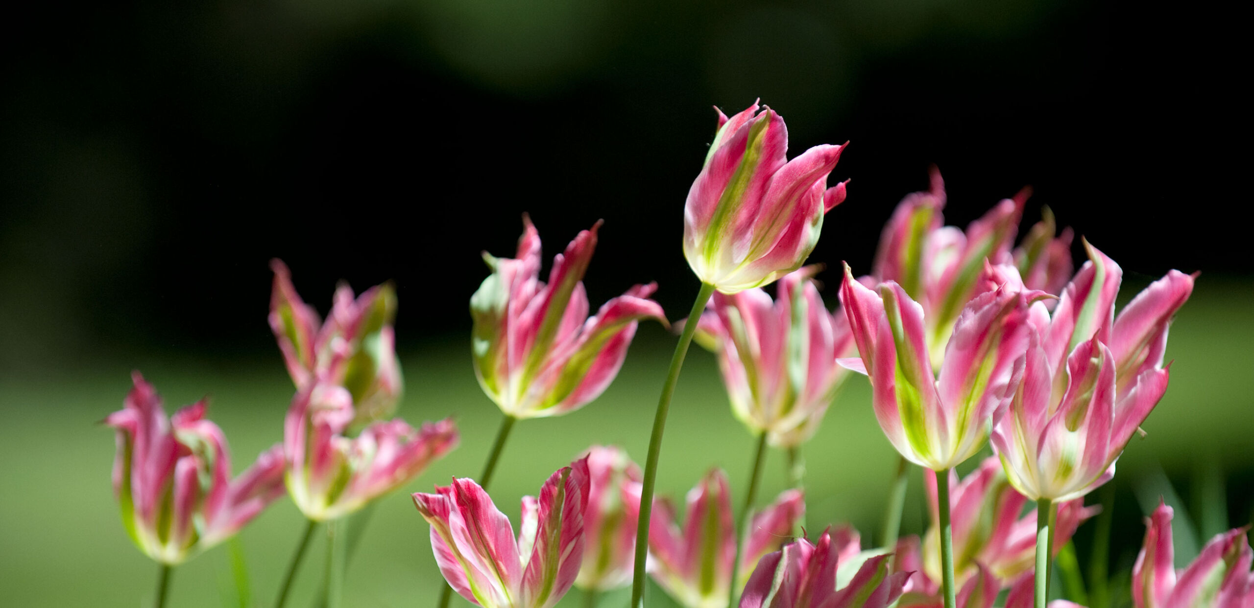 Tulip heads waving in a field.